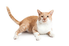 Oranje Cat With Funny Face Laying Royalty-vrije Stock Afbeelding