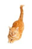 Oranje Cat With Tail Up Royalty-vrije Stock Fotografie