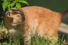 Oranje Cat Walking In The Garden Royalty-vrije Stock Afbeelding