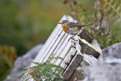 Oranje chested Robin op een omheining Royalty-vrije Stock Afbeelding