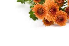 Oranje chrysant stock afbeeldingen