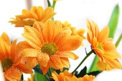 Oranje chrysant Royalty-vrije Stock Afbeeldingen