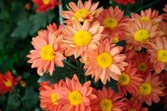 Oranje chrysant stock fotografie