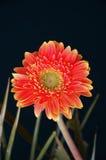 Oranje chrysant Stock Foto