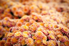 Oranje chrysant bos naadloos patroon als achtergrond Royalty-vrije Stock Foto's