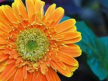 Oranje chrysant stock foto's