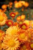 Oranje chrysantenbloemen Royalty-vrije Stock Afbeeldingen