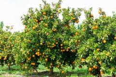 Oranje citrusvruchtenaanplanting op de Peloponnesus, Griekenland, nieuwe oogst van zoete sappige sinaasappelen, landschapsfoto stock afbeeldingen