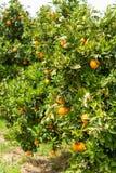 Oranje citrusvruchtenaanplanting op de Peloponnesus, Griekenland, nieuwe oogst van zoete sappige sinaasappelen, landschapsfoto royalty-vrije stock fotografie