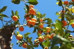 Oranje citrusvruchtenboom Royalty-vrije Stock Fotografie