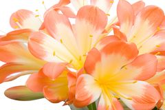 Oranje Clivia miniataclose-up stock afbeelding