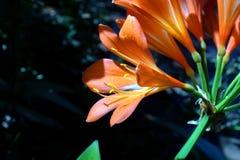 Oranje clivia in Pretoria, Zuid-Afrika royalty-vrije stock foto's