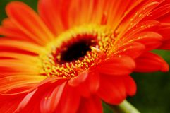Oranje close-up Gerbera Stock Foto's