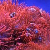 Oranje clownvissen Royalty-vrije Stock Foto