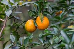 Oranje Cultuur binnen Groen Huis Stock Afbeelding