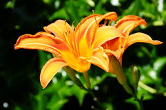 Oranje Dag Lily In Backyard Garden royalty-vrije stock afbeelding