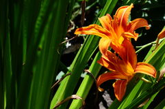 Oranje Dag Lily In Backyard Garden royalty-vrije stock foto