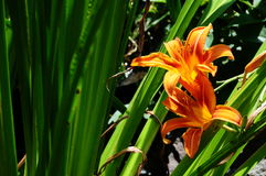 Oranje Dag Lily In Backyard Garden stock afbeelding