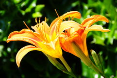 Oranje Dag Lily In Backyard Garden royalty-vrije stock afbeeldingen