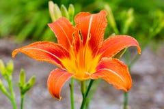 Oranje Dag Lily Vibrant Bloom Stock Fotografie