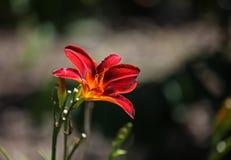 Oranje daglelie, Hemerocallis-fulva royalty-vrije stock fotografie