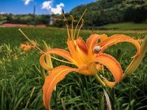 Oranje daglelie op weide Royalty-vrije Stock Afbeeldingen