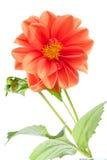 Oranje dahlia Stock Afbeelding