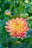 Oranje dahlia Royalty-vrije Stock Afbeeldingen
