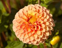Oranje dahlia Stock Foto