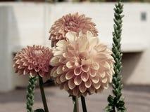 Oranje dahlia'sbloemen royalty-vrije stock afbeelding