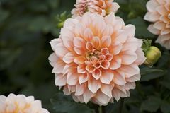 Oranje dahlia in tuin Stock Afbeelding