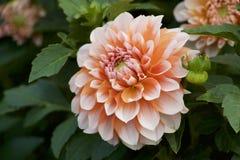 Oranje dahlia in tuin Royalty-vrije Stock Foto