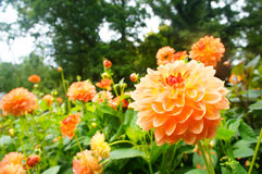 Oranje dahliabloemen in het park Royalty-vrije Stock Foto's