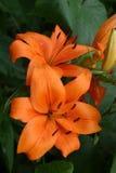 Oranje Daylilies royalty-vrije stock afbeeldingen