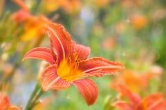 Oranje Daylily Stock Afbeeldingen