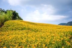 Oranje daylilyTawny bloeit daylily landbouwbedrijf bij chih-KE Royalty-vrije Stock Foto