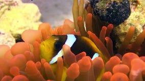 Oranje de anemoonactinidae van de kleurenbel en van clownvissen onderwater rode overzees stock videobeelden