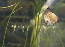 Oranje de Discusvissen van het Duifbloed Stock Foto's