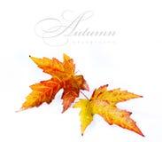 Oranje de herfstblad dat op witte achtergrond wordt geïsoleerd Royalty-vrije Stock Afbeelding