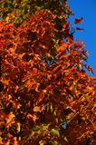 Oranje de herfstbladeren van esdoornboom, Acer-soort, tegen duidelijke blauwe hemel royalty-vrije stock afbeelding