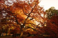 Oranje de herfstboom Royalty-vrije Stock Afbeeldingen