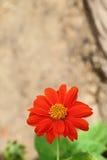 Oranje de naam Mexicaanse zonnebloem van de kleurenbloem Royalty-vrije Stock Foto's