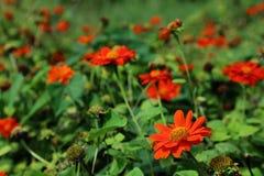 Oranje de naam Mexicaanse zonnebloem van de kleurenbloem in de tuin Stock Foto
