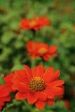 Oranje de naam Mexicaanse zonnebloem van de kleurenbloem in tuin Stock Foto's