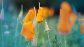 Oranje de papaverbloem van Californië Stock Fotografie