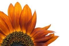 Oranje decoratieve Zonnebloem Royalty-vrije Stock Fotografie