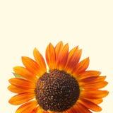 Oranje decoratieve zonnebloem Geïsoleerde exemplaarruimte Het concept van de de zomertijd Royalty-vrije Stock Foto's