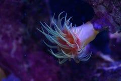 Oranje Dendrophyllia Harde Coral Polyp stock foto's