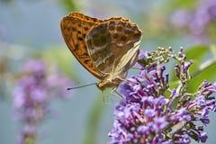 Oranje die aglaja van Argynnis van vlinderaglaia op een bloem zuigende nectar wordt gesteld royalty-vrije stock afbeeldingen