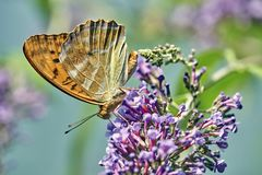Oranje die aglaja van Argynnis van vlinderaglaia op een bloem zuigende nectar wordt gesteld stock foto's
